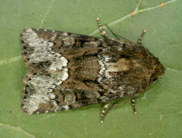 Magdalen Hill Down, Hampshire VC12, 10/05/2008, MV Light Trap, Gen.det., Mike Wall (c) Mike Wall 2008