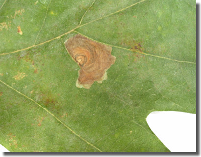 The Mill Field, Old Basing, Hampshire, VC12, 10/10/2003, Field observation, Larval leaf-mines on Pedunculate Oak, Rob Edmunds / Mike Wall / James Andrews (c) Mike Wall 2003