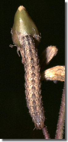 Dorset, 01/07/2002, In seedhead of Nottingham catchfly, Larva, Dave Green (c) David G Green 2004