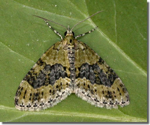 Blackwater, Hampshire VC12, 10/08/2005, Attracted to house lights, Mike Wall (c) Mike Wall 2005