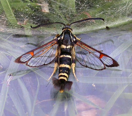 Yateley Common, Hampshire VC12, 07/06/2004, Attracted to lure, Male, Rob Edmunds (c) Rob Edmunds 2004